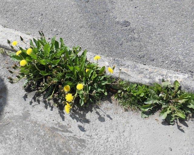 Blommar asfalten