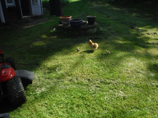 Kycklingar